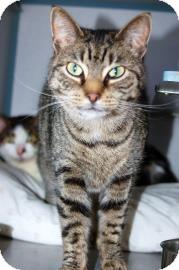 Domestic Shorthair Cat for adoption in Centre Hall, Pennsylvania - Toni