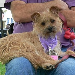 Border Terrier Puppies For Sale In Florida Adoptapet Com