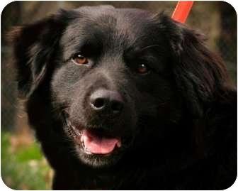 Pawling Ny Newfoundland Meet Winstonmini Newfie A Pet