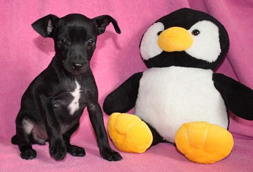 Brattleboro Vt Rat Terrier Meet Beni A Pet For Adoption