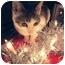 Photo 4 - Domestic Shorthair Kitten for adoption in Brooklyn, New York - Kiki