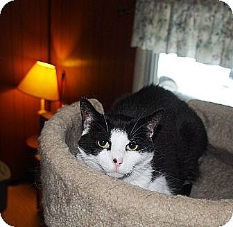 Domestic Shorthair Cat for adoption in Ocean City, New Jersey - Shadow