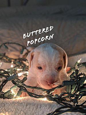Savannah, GA - Chihuahua  Meet Buttered Popcorn a Pet for