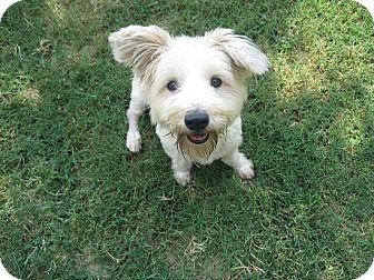 San Antonio, TX - Westie, West Highland White Terrier. Meet Ziggy a ...