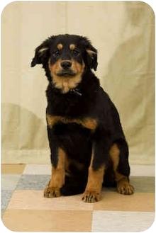 Australian Shepherd Mix Puppy for adoption in Portland, Oregon - Anton