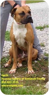 Boxer/Staffordshire Bull Terrier Mix Dog for adoption in Somerset, Pennsylvania - Garth