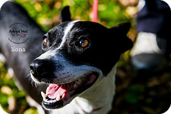 Rat Terrier/Dachshund Mix Dog for adoption in Burbank, California - Mona
