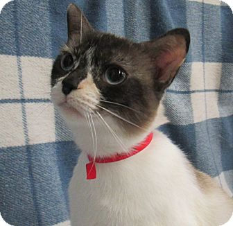 Snowshoe Cat for adoption in Lloydminster, Alberta - April