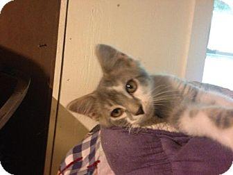 Turkish Angora Kitten for adoption in Franklin, West Virginia - Happy
