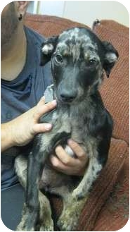 Catahoula Leopard Dog Mix Puppy for adoption in Plano, Texas - Olivia