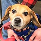 Adopt A Pet :: Cedar *Adopt or Foster*