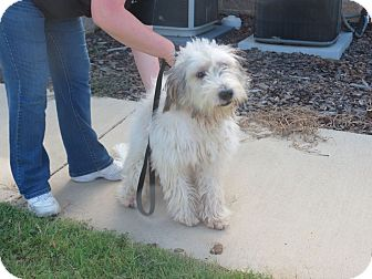 W Warwick Ri Old English Sheepdog Meet Shaggy Ri A