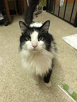 Adopt A Pet :: Oreo  - Blasdell, NY