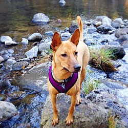 Basenji Puppies for Sale - Adoptapet com