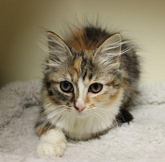 Adopt A Pet :: Mazikeen  - Germantown, TN