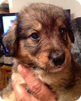 Sheltie Aussie Mix Puppies For Sale - Goldenacresdogs com