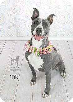 American Staffordshire Terrier Dog for adoption in Speedway, Indiana - TIKI
