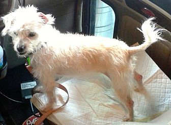 Adopt A Pet :: Holly Noelle, Legally Blonde  - Corona, CA