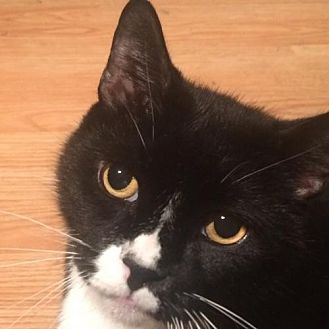 Domestic Shorthair Cat for adoption in Montreal, Quebec - Oreo