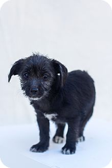 Poodle (Toy or Tea Cup)/Yorkie, Yorkshire Terrier Mix Puppy for adoption in Auburn, California - Bonnie
