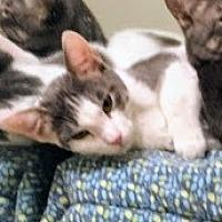Domestic Shorthair Cat for adoption in Lancaster, California - Cuddles