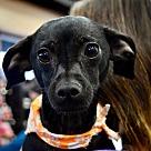 Adopt A Pet :: Dobby *Adoption Pending*