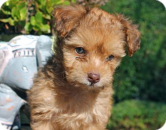 Los Angeles Ca Poodle Miniature Meet Curly Sue A Pet