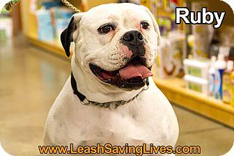 English Bulldog Mix Dog for adoption in Pitt Meadows, British Columbia - Ruby