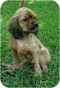 Cocker Spaniel Dog for adoption in Sugarland, Texas - Matt