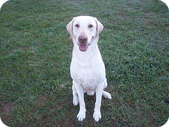 Labrador Retriever Dog for adoption in Tampa, Florida - Jackson