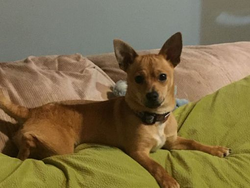 Bellingham Wa Miniature Pinscher Meet Jasper A Pet For Adoption