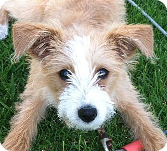 Santa Ana, CA - Wirehaired Fox Terrier. Meet Socks a Dog for Adoption.
