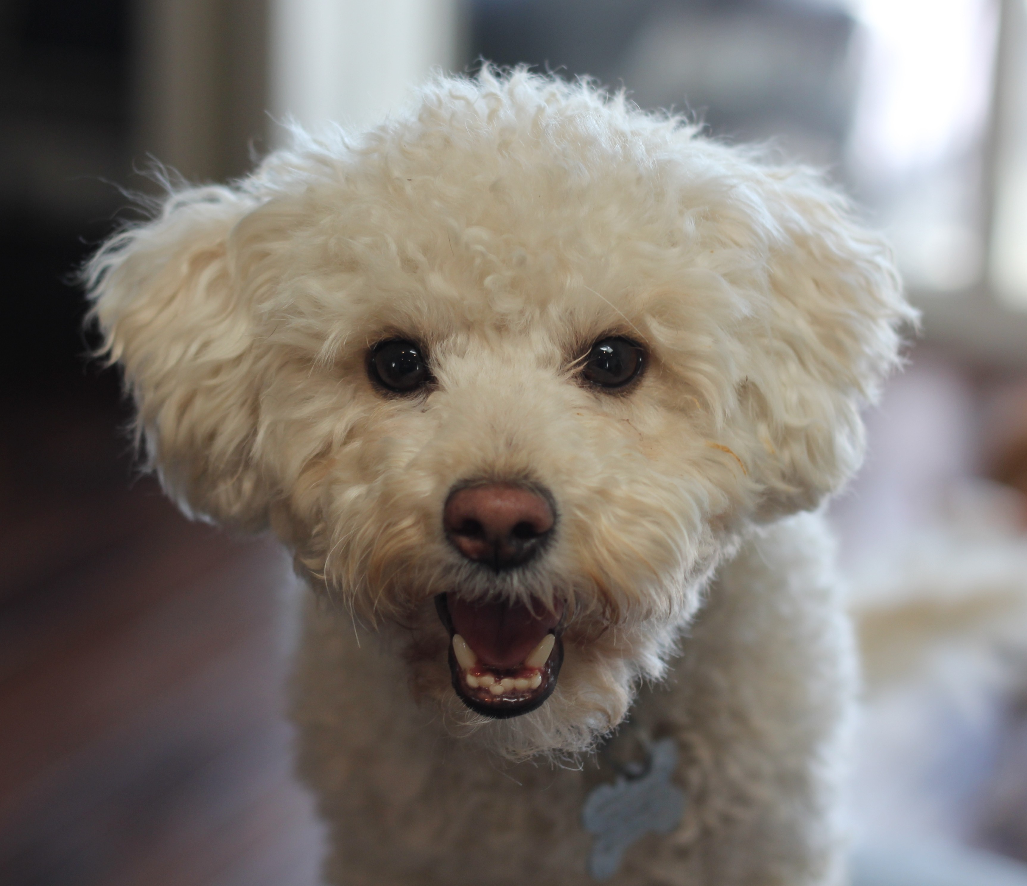 San Pedro Ca Bichon Frise Meet Henri Matisse A Pet For Adoption