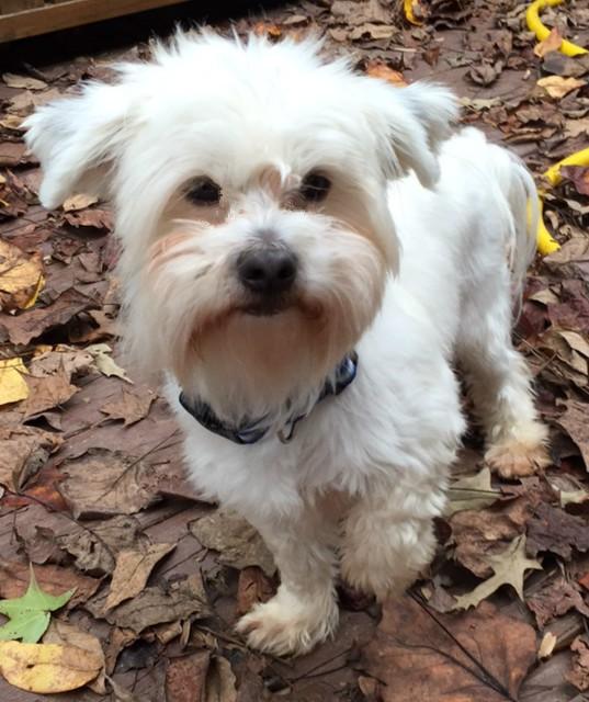 Birmingham, AL - Maltese  Meet Winston Furhill a Pet for Adoption