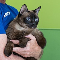 Adopt A Pet :: Lady Godiva - Houston, TX
