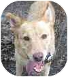 Shepherd (Unknown Type) Mix Dog for adoption in Eatontown, New Jersey - George