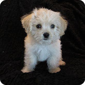 Covina Ca Maltese Meet Milo A Pet For Adoption
