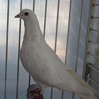 Pigeon for adoption in Elizabeth, Colorado - Miles