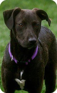 Labrador Retriever Mix Dog for adoption in berwick, Maine - Timothy