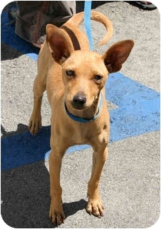 Los Angeles Ca Pharaoh Hound Meet Sahara A Pet For