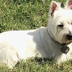 Adopted pets at Westie Rescue of North Texas in Frisco, Texas