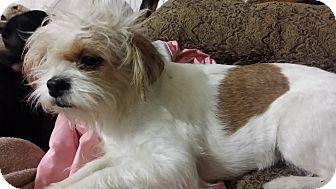 Pflugerville Tx Shih Tzu Meet Bette A Pet For Adoption
