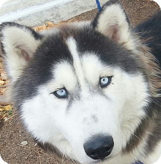 Husky Dogs For Sale In California