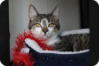 Domestic Shorthair Kitten for adoption in Toronto, Ontario - Pop