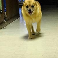 Adopt A Pet :: Nico - Tavares, FL