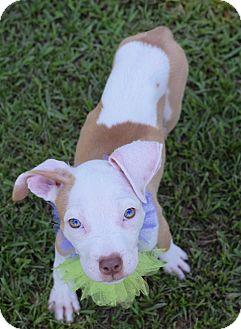 Pit Bull Terrier Mix Puppy for adoption in Glastonbury, Connecticut - Tatum
