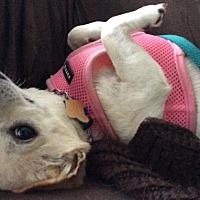 Adopt A Pet :: Maya - Worcester, MA