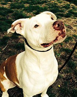 American Bulldog Mix Dog for adoption in Seattle, Washington - Baby Girl