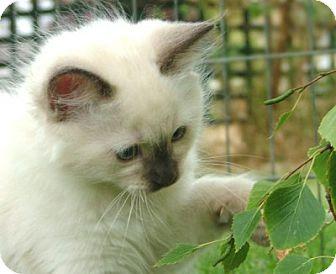 Houston, TX - Ragdoll  Meet Siames (Ragdoll a Pet for Adoption