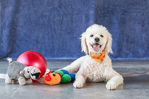 Edmonton Ab Poodle Miniature Meet Mateo A Pet For